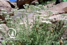 Photo of Achillea ligustica
