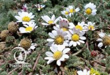 Photo of Anacyclus pyrethrum . Depressus
