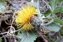 Photo of Centaurea pubescens