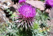 Photo of Cirsium chrysacanthum