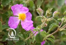 Photo of Cistus albidus