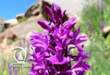 Photo of Dactylorhiza elata . orchis