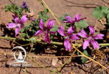 Photo of Malva sylvestris
