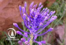 Photo of Muscari comosum