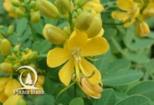 Photo of Senna pendula . glabrata
