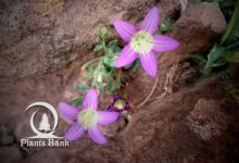 Photo of Campanula filicaulis
