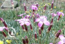 Photo of Dianthus sylvestris