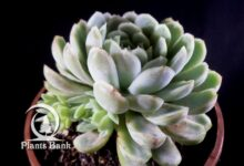 Photo of Echeveria Derenbergii