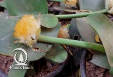 Photo of Haemanthus albiflos