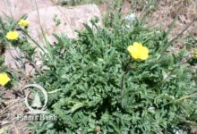 Photo of Potentilla recta