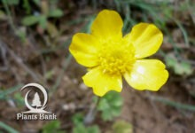 Photo of Ranunculus bulbosus