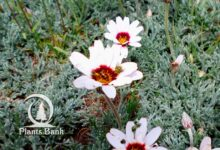 Photo of Rhodanthemum / Leucanthemum catananche