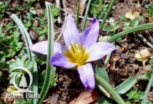 Photo of Romulea bulbocodium