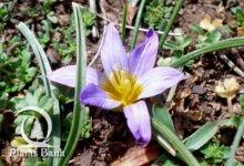 Photo of Romulea bulbocodium