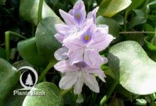 Photo of Eichhornia crassipes