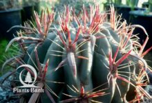 Photo of Ferocactus latispinus