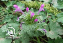 Photo of Lamium purpureum