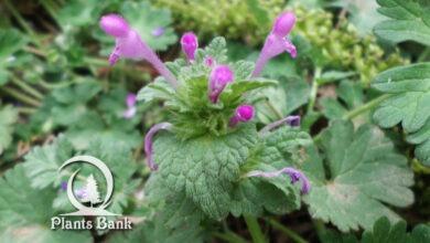 Photo of Lamium purpureum
