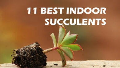 Photo of 11 Best Indoor Succulents Plant
