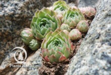 Photo of Sempervivum atlanticum