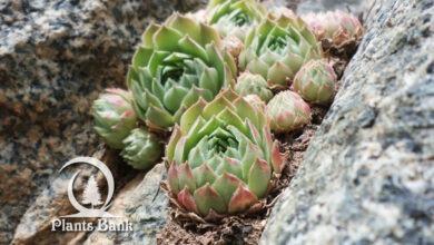 Photo of Sempervivum atlanticum