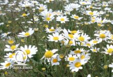 Photo of Anthemis pedunculata