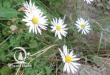 Photo of Bellis perennis