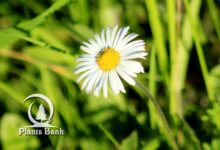 Photo of Bellis sylvestris