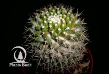 Photo of Mammillaria  amajacensis