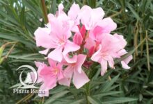 Photo of Nerium oleander