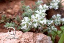 Photo of Paronychia kapela