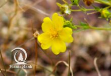 Photo of Potentilla pensylvanica