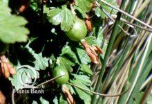 Photo of Ribes uva-crispa