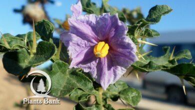 Photo of Solanum linnaeanum
