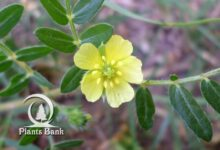 Photo of Tribulus terrestris