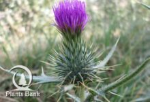 Photo of Cirsium casabonae