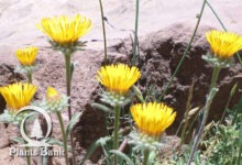 Photo of Inula montana