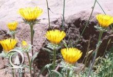 Photo of Inula montana