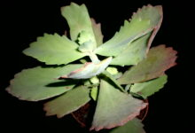 Photo of Kalanchoe longiflora coccinea