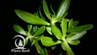Photo of Sedum dendroideum ssp praealtum
