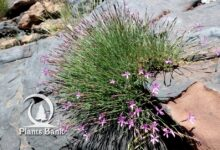 Photo of Dianthus lusitanus