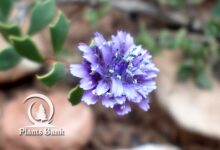 Photo of Globularia alypum
