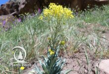 Photo of Isatis tinctoria