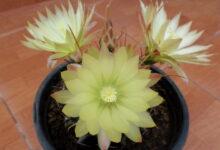 ferocactus hamatacanthus