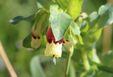 Photo of Cerinthe major