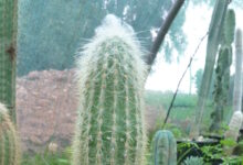 Photo of Cleistocactus strausii