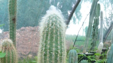 Photo of Cleistocactus strausii