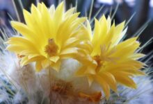 Photo of Parodia microsperma aureispina