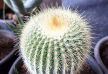 Photo of Parodia leninghausii