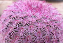 Photo of Echinocereus pectinatus